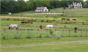 Grazing-Ponies